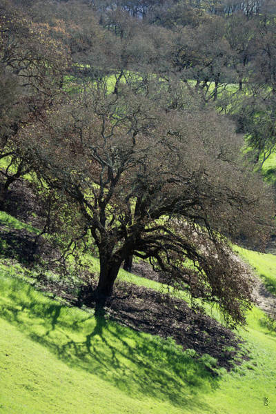 Photograph - Sonoma Valley Rp_oak_1333_18 by Tari Kerss