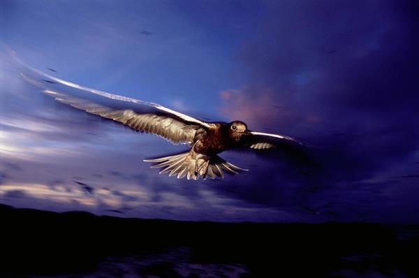 Wall Art - Photograph - Sooty Tern In Flight by James Warwick