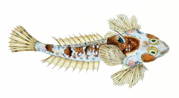 Drawing - Sordit Dragonet  by David Letts