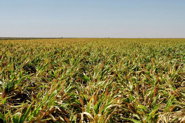 Texas A Photograph - Sorghum Field, Ready For Harvest by Danita Delimont