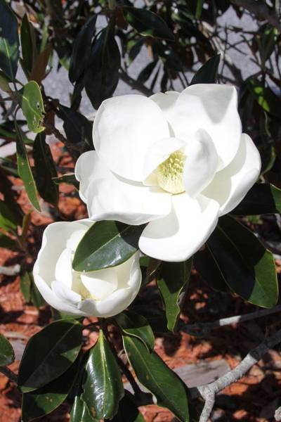 Photograph - Sosouthern Magnolia Blossoms by Philip Bracco