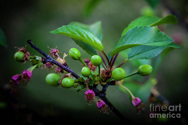 Wall Art - Photograph - Sour Or Tart Cherries On April 30th 4637 by Doug Berry