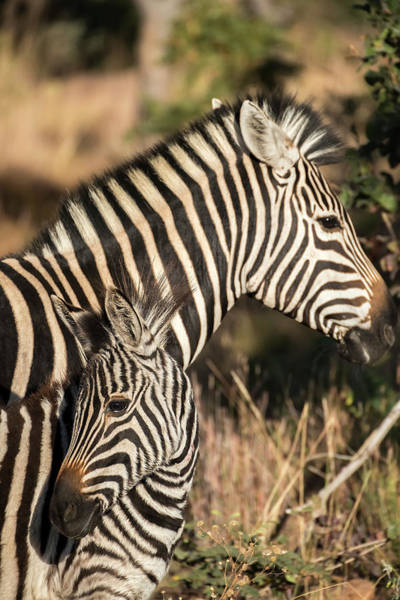 Wall Art - Photograph - South Africa, Welgevonden Game Reserve by Jaynes Gallery