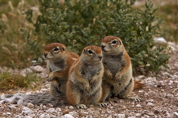 Wall Art - Photograph - South African Ground Squirrels by David Hosking