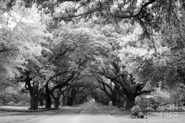 Wall Art - Photograph - South Carolina Angel Oak Trees - Black White Angel Oak Trees Nature South Carolina Angel Oak Trees by Kathy Fornal