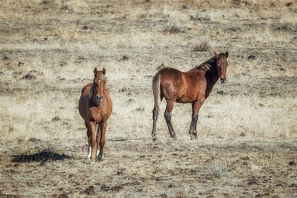 Photograph - South Steens Colt With Likely Sire by Belinda Greb