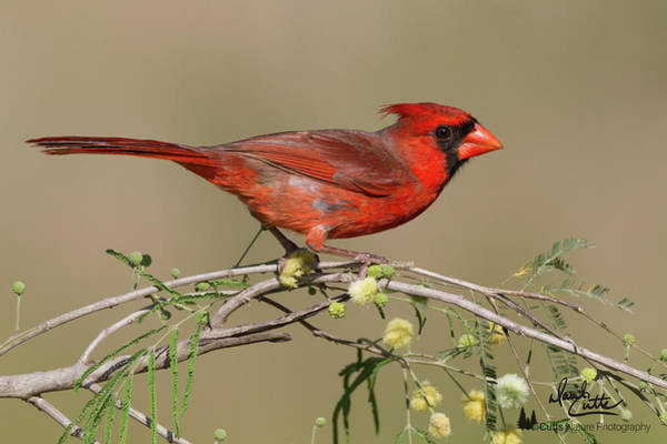 Photograph - South Texas Cardinal by David Cutts