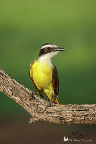 Photograph - South Texas Great Kiskadee by David Cutts