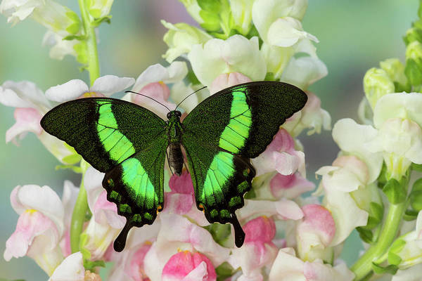 Wall Art - Photograph - Southeast Asian Swallowtail Butterfly by Darrell Gulin
