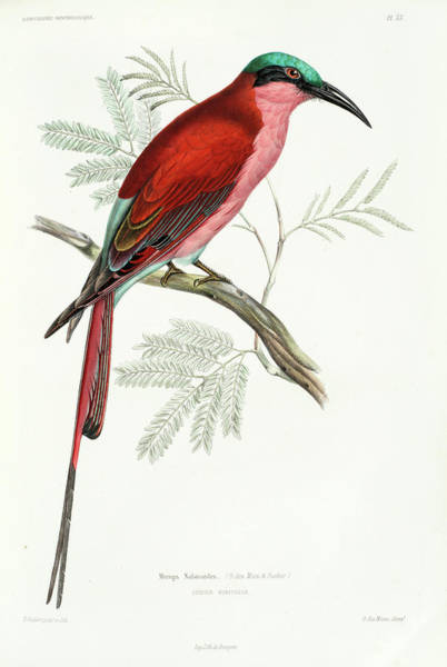 Carmine Wall Art - Painting - Southern Carmine Bee-eater by Marc Athanase Parfait des Murs