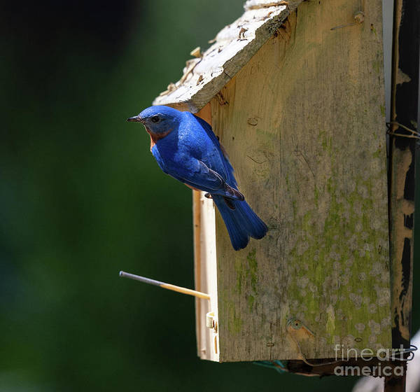 Photograph - Southern Eastern Blue Bird by Dale Powell