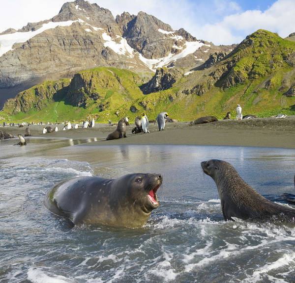 Wall Art - Photograph - Southern Elephant Seal Pup Barking At by Eastcott Momatiuk