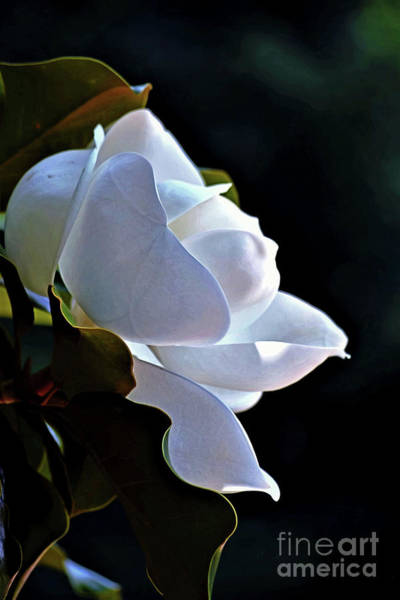 Photograph - Southern Magnolia Profile by Patti Whitten