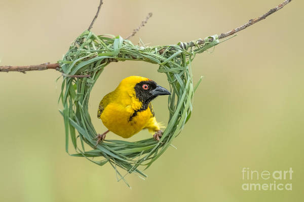 Wall Art - Photograph - Southern Masked Weaver Building Nest by Tobie Oosthuizen