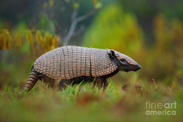 Wall Art - Photograph - Southern Naked-tailed Armadillo by Ondrej Prosicky