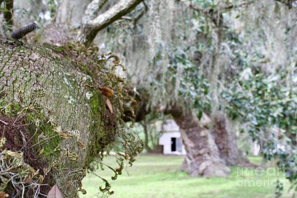 Photograph - Southern Oaks by Flavia Westerwelle