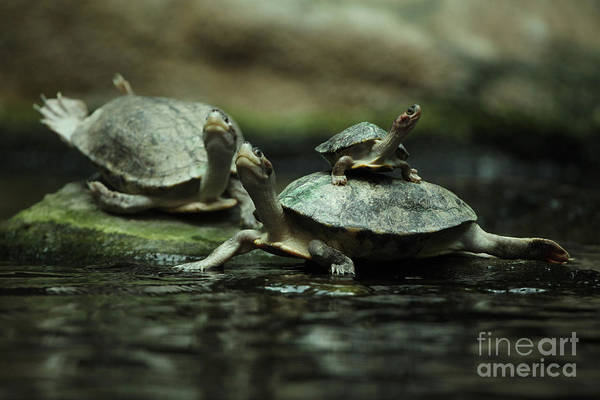 Freshwater Wall Art - Photograph - Southern River Terrapin Batagur by Vladimir Wrangel