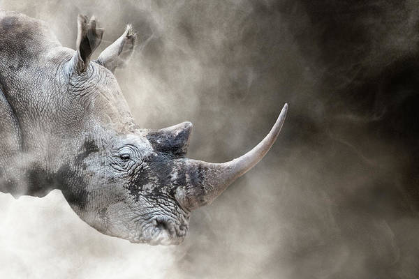 Wall Art - Photograph - Southern White Rhino In The Dust by Susan Schmitz