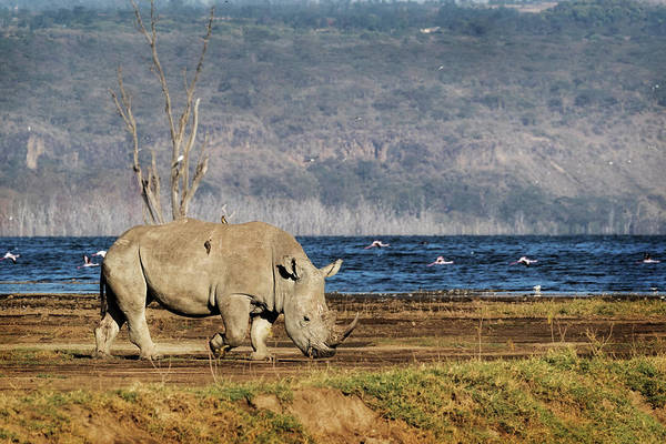 Wall Art - Photograph - Southern White Rhino Walking In Lake Nakuru by Susan Schmitz