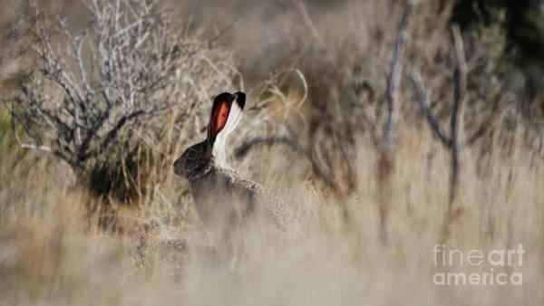 Photograph - Southwest Desert Hare by Robert WK Clark