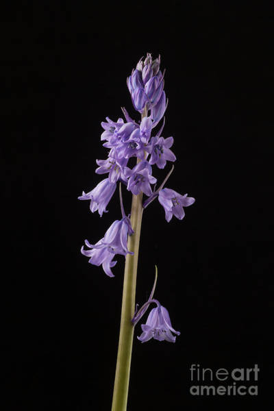 Wall Art - Painting - Spanish Bluebell by John Edwards