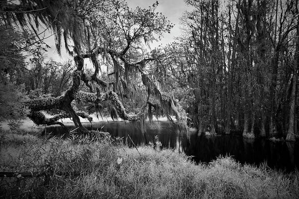 Wall Art - Photograph - Spanish Moss In Tree by Jon Glaser