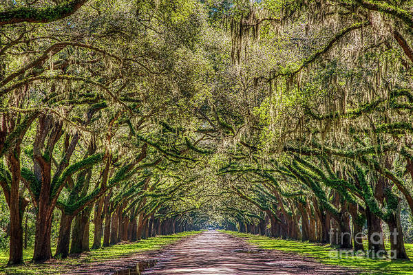 Backwoods Wall Art - Photograph - Spanish Moss Tree Tunnel by Paul Quinn