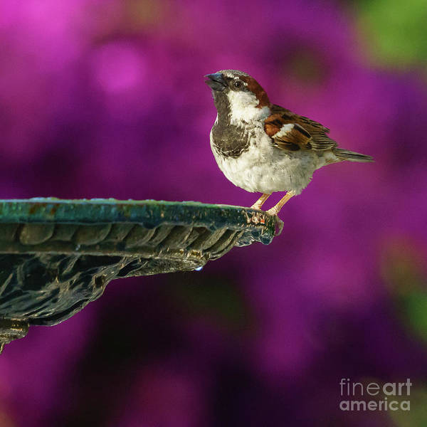 Photograph - Spanish Sparrow And Iron Fountain by Pablo Avanzini
