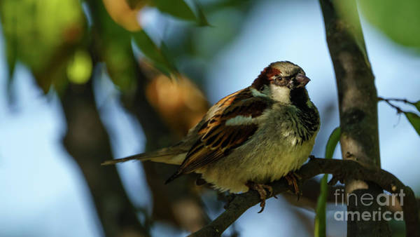Photograph - Spanish Sparrow Passer Hispaniolensis Cadiz by Pablo Avanzini