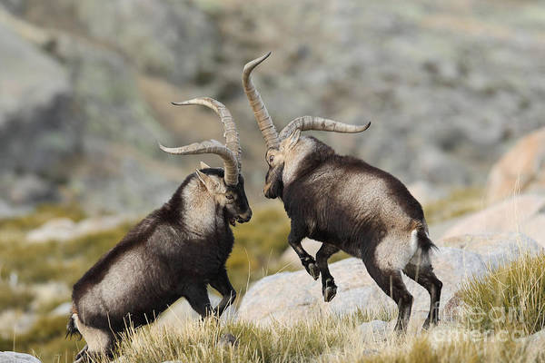 Wall Art - Photograph - Spanish Wild Goat - Iberian Ibex - by Paolo-manzi