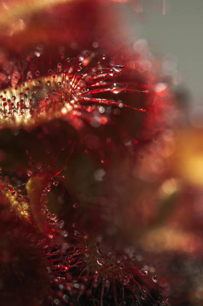 Photograph - Sparkling Alien Worlds Of Alice Sundew 8 by Jenny Rainbow