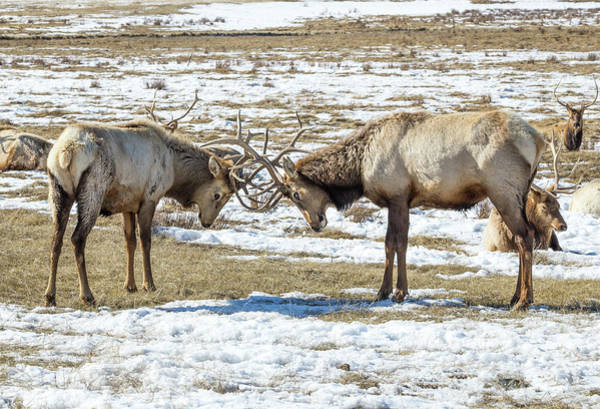 Photograph - Sparring Elk by Michael Chatt
