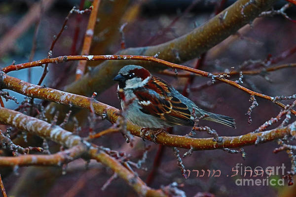 Photograph - Sparrow by Donna L Munro
