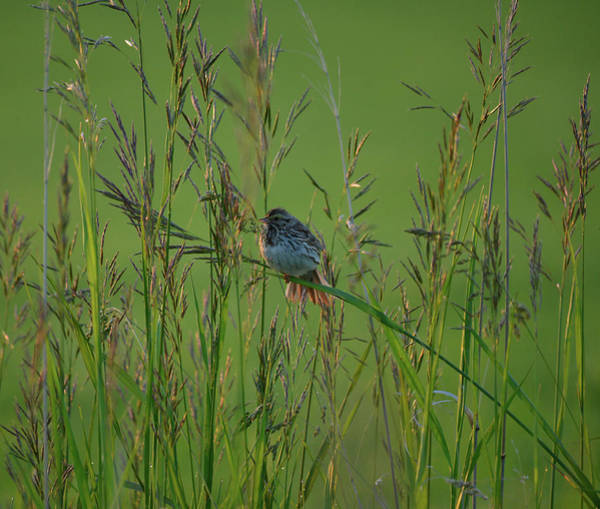 Wall Art - Photograph - Sparrow In The Grass by Whispering Peaks Photography