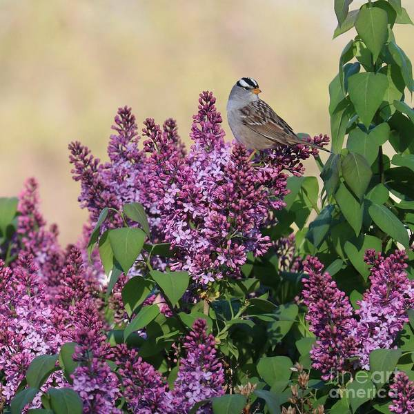 Photograph - Sparrow In The Lilacs by Carol Groenen