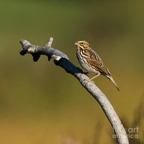 Photograph - Sparrow On Branch by Michael D Miller