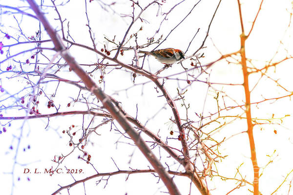 Photograph - Sparrow On Crabapple Branch by Donna L Munro