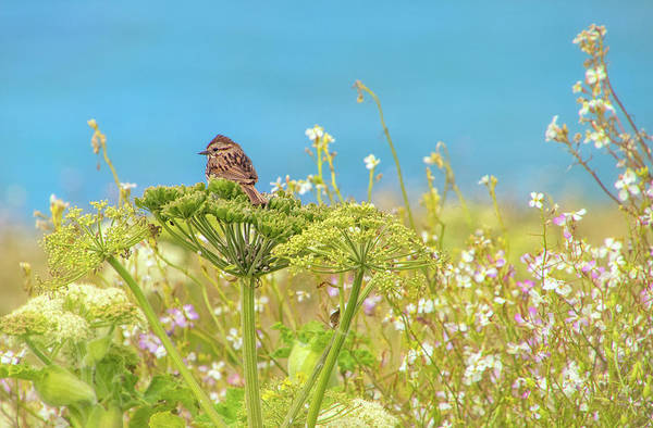 Photograph - Sparrow On Wildflowers In Point Reyes by Carolyn Derstine