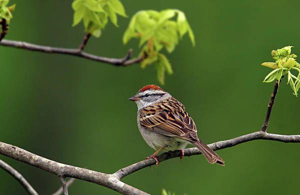 Photograph - Sparrow by Ronnie and Frances Howard
