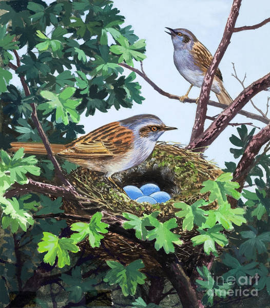 Wall Art - Painting - Sparrows Nest by Unknown