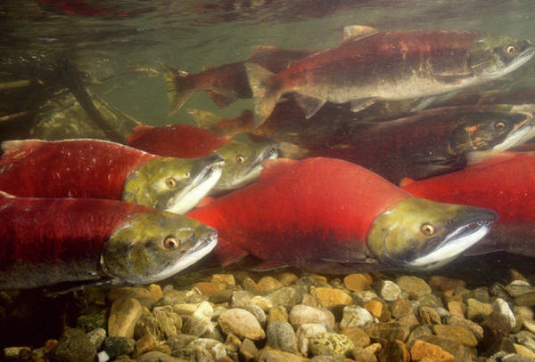 Wall Art - Photograph - Spawning Sockeye Salmon, Fraser River by Stuart Westmorland
