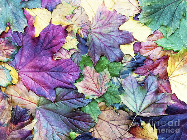 Wall Art - Photograph - Special Colored Autumn Leaves by Ninii
