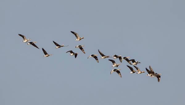 Photograph - Specklebelly Geese by Loree Johnson