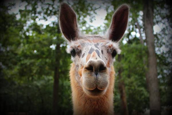 Photograph - Speckled Face Llama by Cynthia Guinn