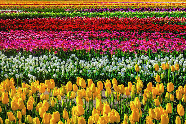 Wall Art - Photograph - Spectacular Endless Tulip Fields by Garry Gay