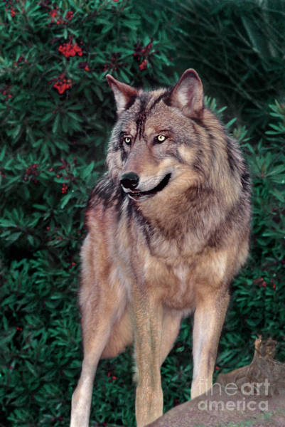 Photograph - Spectacular Gray Wolf Canis Lupus Wildlife Rescue by Dave Welling