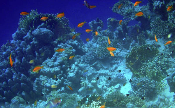 Photograph - Spectacular Red Sea With Anthias And Halfandhalfchromis by Johanna Hurmerinta