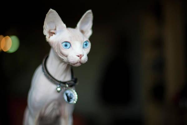 Pendant Photograph - Sphynx Cat by Grove Pashley