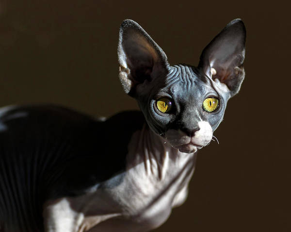 Photograph - Sphynx by Wes and Dotty Weber