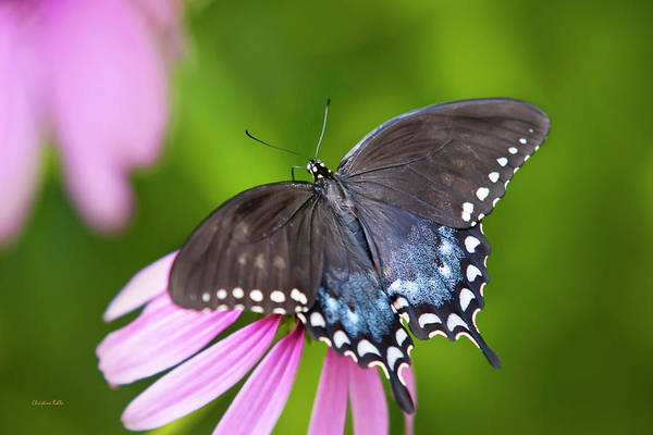 Photograph - Spice Of Life Butterfly by Christina Rollo